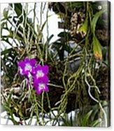 Portrait Of Orchids Acrylic Print