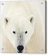 Portrait Of Polar Bear On The Shore Ice Acrylic Print