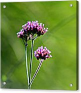 Portrait Of Purple Verbena Acrylic Print