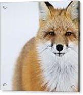 Portrait Of Red Foxchurchill Manitoba Acrylic Print