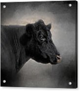 Portrait Of The Black Angus Acrylic Print