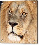 Portrait Of The Lion Acrylic Print