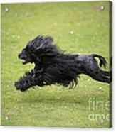 Portuguese Water Dog Acrylic Print