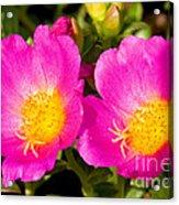 Portulaca Flower Acrylic Print