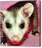 Poser Possum Acrylic Print