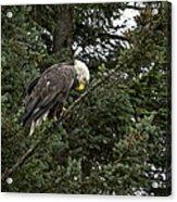 Posing Bald Eagle Acrylic Print