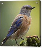 Posing Bluebird Acrylic Print