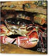 Posing Crab Acrylic Print