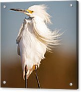 Posing Egret Acrylic Print by Tammy Smith