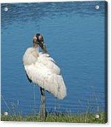Posing Wood Stork Acrylic Print