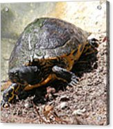 Possible Cooter Turtle Acrylic Print