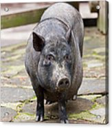 Potbelly Pig Standing Acrylic Print