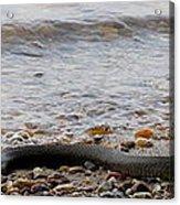 Potomac Water Snake Acrylic Print