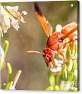 Potter Wasp Female Acrylic Print