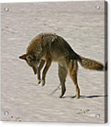 Pouncing Coyote Acrylic Print