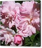 Powder Puff Pink Acrylic Print