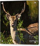 Powderham Deer  Acrylic Print