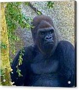 Powerful Female Gorilla Acrylic Print