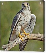 Praire Falcon On Dead Branch Acrylic Print
