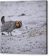 Prairie Chicken 2013-2 Acrylic Print