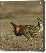 Prairie Chicken-9 Acrylic Print by Thomas Young