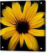 Prairie Coreopsis Acrylic Print