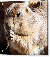 Prairie Dog Acrylic Print