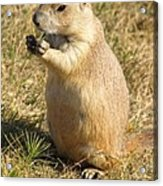 Prairie Dog Feeding On The Meadows At The Devil's Tower Acrylic Print