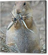 Prairie Dog Food Acrylic Print