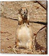 Prairie Dog - National Zoo - 01132 Acrylic Print