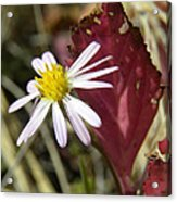 Prairie Flower And Red Lambs Quarter Acrylic Print