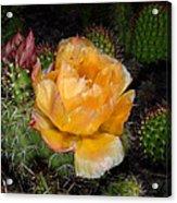 Prairie Rose II Acrylic Print
