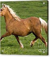 Prancing Pony Acrylic Print