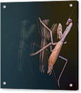 Praying Mantis 1 Acrylic Print