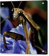 Praying Mantis  Closeup Portrait 4 On Iris Flower Acrylic Print