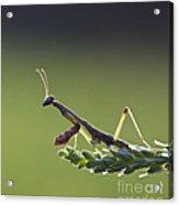 Praying Mantis Macro In The Sunlight Acrylic Print