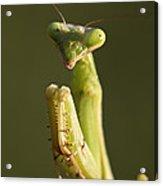 Praying Mantis Macro Portrait Acrylic Print