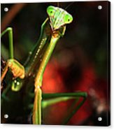 Praying Mantis Portrait Acrylic Print