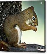 Praying Squirrel Acrylic Print