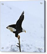 Precarious Perch Acrylic Print