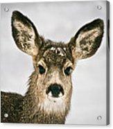 Precious - Mule Deer Fawn - Casper Mountain - Casper Wyoming Acrylic Print