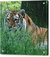 Predator In The Grass Acrylic Print