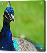 Pretty As A Peacock Acrylic Print by Lori Tambakis