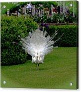 Pretty As A Peacock Acrylic Print