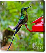 Pretty Blue-tailed Hummer In Mindo Acrylic Print