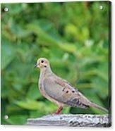 Pretty Dove Acrylic Print
