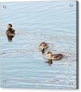 Pretty Ducks Acrylic Print