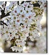 Pretty Flowering Trees Acrylic Print