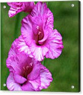 Pretty Gladiolus Acrylic Print