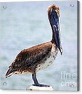Pretty Gulf Pelican Acrylic Print